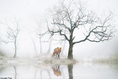 A fox (gusdiaz) Tags: photoshop photomanipulation digital art digitalart composite composition fox winter tree pond lake reflection nieve arboles trees forest bosque zorro fog foggy neblina arbol artistico artistic