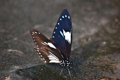 Papilio paradoxa telearchus (Great Blue Mime) (GeeC) Tags: animalia arthropoda butterfliesmoths cambodia greatbluemime insecta kohkongprovince lepidoptera nature papilio papilioparadoxatelearchus papilionidae papilionoidea tatai truebutterflies