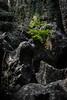 Baby-Tanne (Sylsine) Tags: felsen felsenmeer frühling hemer landschaft natur steine tanne wald pflanze