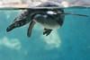 What lies beneath (ToriAndrewsPhotography) Tags: humboldt penguin colchester zoo essex photography andrews tori underwater bubbles swim