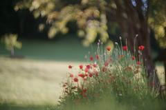 evening celebrations (dapalmerpeter (slow & low)) Tags: dapalmerpeter evening poppy meadow bokeh summer summarit 50 50mm leitz tree