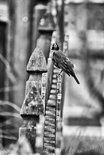 Robin on a Fence 10