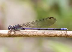 Violet Dancer (arlene sopranzetti) Tags: violet dancer damselfly nj willowwood arboretum bedminster