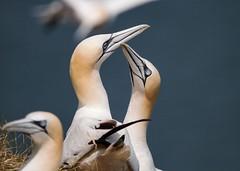Pair Bonding Gannets (TuKJo) Tags: gannet gannets pair bonding bird birds birding nature wildlife sea seabird coast coastal cliff rspb bempton cliffs water fish birdlife breeding