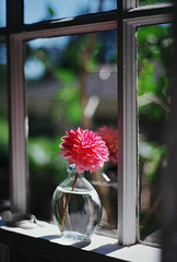 flowers i have known, part three (manyfires) Tags: film analog flowers floral floralscape bokeh nikonf100 35mm windowlight windowsill window dahlia summer house home vase