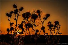 Verblühte Distel in der Abendsonne (günter mengedoth) Tags: lensbaby burnside 35mm f28 lensbabyburnside35mmf28 pentax pentaxk1 pk kr manuell bokeh distel sonne sonnenuntergang gegenlicht abendrot silhouettephotography