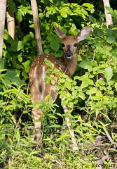 072118145449asmweb (ecwillet) Tags: deer wildwoodparkharrisburgpa nikon nikond800e nikon200500f56 ecwillet ericwillet