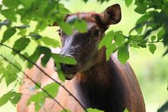 Wildlife Revealed (Waterfall Guy) Tags: oconuluftee visitor center great smoky mpountains national park north carolina elk female wildlife