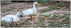 On Your Mark, Get set, Go! (Ramalakshmi Rajan) Tags: quotes birds duck nikon nikond5000 nikkor18140mm