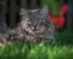 If you don't hear from me anymore it's because I have melted ! (FocusPocus Photography) Tags: fynn fynnegan katze kater cat chat gato tier animal haustier pet garten garden gras grass sommer summer