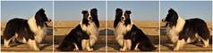 "Portrait ""Shetland Sheepdog"" (Uli He - Fotofee) Tags: ulrike ulrikehe uli ulihe ulrikehergert hergert nikon nikond90 morgenspaziergang burghaun plätzer sheltie shetlandsheepdog"