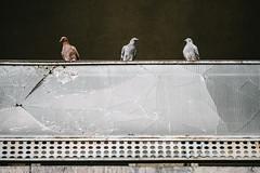 01/30 2017/08 (halagabor) Tags: nikon d610 manualfocus vintagelens nikkor city citylife urban pigeon pigeons broken three minimal symmetry 200mm tele budapest