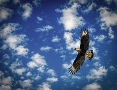 Aguila3 (Isai Hernandez) Tags: naturephotography eagle aguila fotografianatural clouds nubes cielo sky fly flying high photography wonderfull animals wildlife