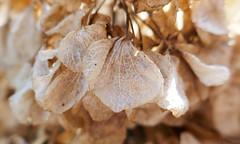 Hydrangea flowers decaying gracefully (Monceau) Tags: macro hydrangea petals veins lossofcolor dry driedout delicate decaying gracefully decay macromondays