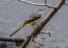 Grey Wagtail ( Motacilla cinerea ) (Dale Ayres) Tags: grey wagtial motacilla cinerea bird nature wildlife water wood branch