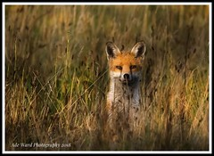 Watching me watch you (awardphotography73) Tags: nature cardiff wales forestfarm beautiful wildanimals wildlife fox