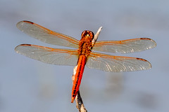 Golden-wing Skimmer (tresed47) Tags: 2018 201808aug 20180806bombayhookbirds august bombayhook canon7dmkii content delaware dragonflies folder goldenwingedskimmer insects peterscamera petersphotos places season summer takenby us