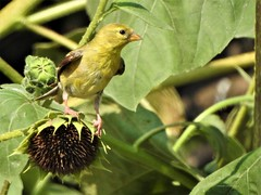 Female Goldfinch (Anton Shomali - Thank you for over 1 million views) Tags: flickr food flowers nature coolpix nikon female goldfinch femalegoldfinch sunflower sunflowerseeds seeds