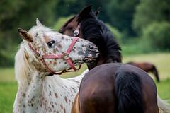 (at2907) Tags: pferd pferde horse tiere tier natur niederrhein nature schwalm portrait porträt naturschutz naturschutzgebiet landcape landschaft haustier tierfotografie