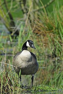 Canada Goose / Kanadagans