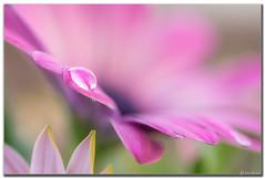 Daisy (Ken Mickel) Tags: dewdrop dewdrops floral flower flowers flowersplants kenmickelphotography plants waterdrop waterdrops blossom blossoms botanical closeup daisy flora garden gardens nature upclose