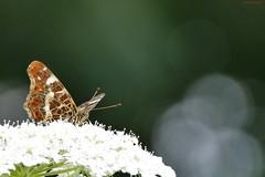 Landkaartje (jehazet) Tags: vlinders butterfly landkaartje araschnialevana