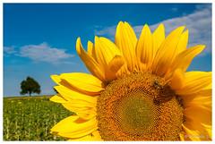 Soleil (Pascale_seg) Tags: landscape paysage campagne country field countryside countryscape champ tournesol sunflower soleil sun été summer moselle lorraine grandest france nikon jaune yellow sky ciel bleu blue