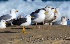 Lesser Black-backed (L. fuscus) and American Herring Gull (L. smithsonianus) side by side (Steve Arena) Tags: racepoint provincetown barnstablecounty 2017 nikon d750 bird birds birding larusfuscus larussmithsonianus lesserblackbackedgull americanherringgull larid laridae rps racepointsouth