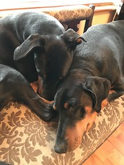 Best of Friends (firehouse.ie) Tags: perro chien hund k9 gabbana saxon female male pinscher pinschers dobermans dobermanns doberman dobermann dobeys dobey dobies dobie dobes dobe