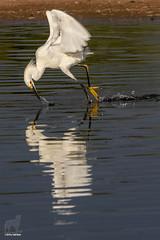 Doink! Goes the Egret (Jasper's Human) Tags: snowyegret fish eat dive fly