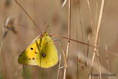 Colias croceus (Corinne Ménardi) Tags: coliadinae coliascroceusgeoffroyinfourcroy1785 papillondejour pieridae rhopalocères souci papillon jaune papilionoidea lépidoptères colias