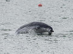 Bottlenose Dolphin catching a fish (RedPlanetClaire) Tags: new quay wales sea water dolphin ceredigion cardigan bay bottlenose wildlife marine mammal wild free jumping catching fish