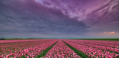 The Tempestuous Trek of the Ten Thousand Terrific Tulips. (Alex-de-Haas) Tags: 11mm adobe blackstone d850 dutch hdr holland irix irix11mm irixblackstone lightroom nederland nederlands netherlands nikon nikond850 noordholland photomatix photomatixpro beautiful beauty bloem bloemen bloementeelt bloemenvelden cloud clouds cloudscape drama dramatic floriculture flower flowerfields flowers landscape landschaft landschap lente lucht mooi nature natuur polder skies sky skyscape spectaculair spectacular spring sun sundown sunset tulip tulips tulp tulpen wolk wolken zonsondergang