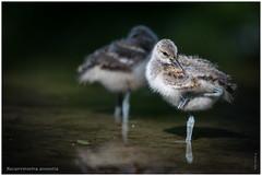 Recurvirostra avosetta (nw) (Dieter Gora) Tags: recurvirostraavosetta wildparkeekholt säbelschnäbler jungtier juvenil