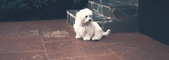 Sparky <3 (Steh Monteiro) Tags: maltese maltês dog puppy pup filhote cão cãozinho cachorro white nikon d3300 furry peludo fofo