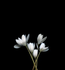 59055.01 Sanguinaria canadensis (horticultural art) Tags: horticulturalart sanguinariacanadensis sanguinaria flowers bouquet bloodroot