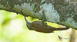 Cocoa woodcreeper - Grimpar cacao - Trepatroncos chocolate - Xiphorhynchus susurrans