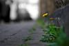 Löwenzahn (Gerald Lang) Tags: sonyalpha7ii sonya7ii pflanzen strase plants sonyilce7m2 plante street rue tamronaf90mm128macro11 löwenzahn taraxacumsectruderalia dandelion pissenlit import17042018