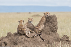 CA3I4757-Cheetah (tfells) Tags: cheetah cat mammal nature wildlife africa serengeti tanzania safari acinonyxjubatus