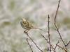 Meadow Pipit (Corine Bliek) Tags: pieper pipits bird birds birding nature natuur wildlife vogel vogels passerine grass grassland anthus pratensis anthuspratensis