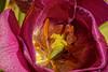Juste pour toi - Just for you (p.franche visit(ez) my - mes expositions) Tags: fleur flower macro nature bokeh superbokek sony sonyalpha65 dxo photolab bruxelles brussel brussels belgium belgique belgïe europe pfranche pascalfranche schaerbeek schaarbeek blume 花 blomst flor פרח virág bunga bláth blóm bloem kwiat цветок kvetina blomma květina ดอกไม้ hoa زهرة coeur heart 100mmmacro étamines pistil pollen pétale pourpre jaune poudre amitié stamens petal purple yellow powder friendship couleur lumière transparence soleil printemps color light transparency sun spring