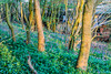 Bannams Wood 19th April 2018 (boddle (Steve Hart)) Tags: stevestevenhartcoventryunitedkingdomcanon5d4 bannams wood 19th april 2018 steve hart boddle steven bruce wyke road wyken coventry united kingdon england great britain canon 5d mk4 6d 100400mm is usm ii wild wilds wildlife life nature natural bird birds flowers flower fungii fungus insect insects spiders butterfly moth butterflies moths creepy crawley winter spring summer autumn seasons sunset weather sun sky cloud clouds panoramic landscape