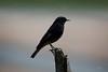 Rabirruivo (Carlos Santos - Alapraia) Tags: rabirruivo ngc ourplanet animalplanet canon nature natureza wonderfulworld highqualityanimals unlimitedphotos fantasticnature birdwatcher ave bird pássaro