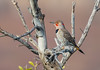 Northern Flicker (hyu767) Tags: birdperfect 4192018150explored woodpeckers northernflicker flickers