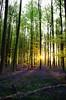 Bois de Hal_IGP6600_s (INABA Tomoaki) Tags: belgium belgië belgique belgien ベルギー hallerbos bois de hal ハルの森 bluebell ブルーベル outdoor plant flower landscape forest