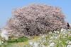 Cherry blossoms in full bloom / 満開 (yanoks48) Tags: cherryblossom 桜 flower 花 tokyo 東京 japan 日本