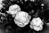 Camelias (reginareginarum) Tags: bn flores tres
