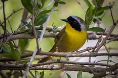 Common Yellowthroat (jt893x) Tags: 150600mm bird commonyellowthroat d500 geothlypistrichas jt893x male nikon nikond500 sigma sigma150600mmf563dgoshsms songbird warbler yellowthroat alittlebeauty thesunshinegroup coth coth5 sunrays5