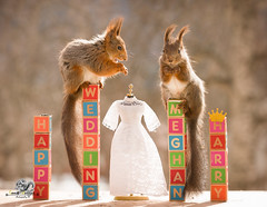 red squirrels on text blocks with a wedding dress (Geert Weggen) Tags: animal arrangement britishroyalty celebration celebrationevent ceremony cultures domesticanimals editorial event happiness holidayevent humanrole joy lifeevents londonengland order outdoors parade photography princeroyalperson princeregiment royalty smiling traditionalceremony wedding weddingceremony harry meghan princess squirrel redsquirrel marry crown word text bridalveil open mouth dress happy fun congrats bestwishes bispgården jämtland sweden ragunda geert weggen