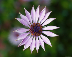 Dimorphoteca (Darea62) Tags: dimorphoteca flower nature petals daisy